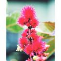 Fleur de ricin par RoseBaie