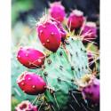 Figue de barbarie (fruit du cactus) par RoseBaie